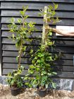 Photinia x fraseri Red Robin 5L Pot 120-140cm